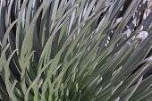 Closeup of Silversword Plant on Maui Hawaii