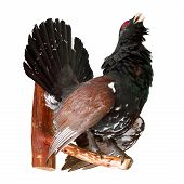 Stuffed Capercaillie On White, Taxidermy