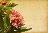 Old paper with pink flowers. Oleander