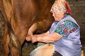 Abuela es ordeñar una vaca en la granja lechera
