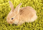 Fluffy foxy rabbit on carpet close-up
