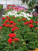 Geraniums For Sale