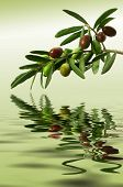 pic of olive branch  - Olive branch with ripe fruit with reflection - JPG