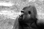 Gorilla's Male Portrait