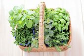 picture of peppermint  - basket full of fresh herbs  - JPG