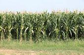 Row Of Tall Corn Stalks Ready For Harvest