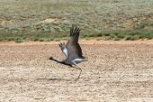 stock photo of belladonna  - the crane a belladonna waves wings at the bottom of the dried lake - JPG