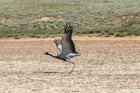 foto of belladonna  - the crane a belladonna waves wings at the bottom of the dried lake - JPG