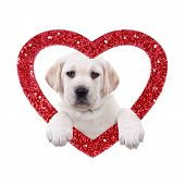 stock photo of peek  - Valentine Labrador puppy dog and glitter heart isolated on white - JPG