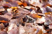 Common toad - autumnal leaves