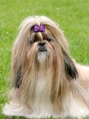 stock photo of dog breed shih-tzu  - The funny shih tzu dog in a garden - JPG