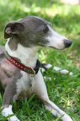 Italian Greyhound Profile
