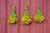 Three Beautiful St Johns Wort Medical Herb Bunch On Red Wall