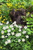 image of celandine  - Tree stump in forest with blooming Wood Anemone en Lesser celandine flowers in spring - JPG