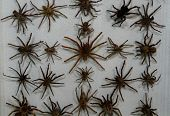 image of creepy crawlies  - Wall of Tarantulas in Monteverde Rainforest Museum in Costa Rica - JPG