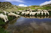 Sheep On The Bistra Mountain