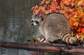 Raccoon (Procyon lotor) Looks Back