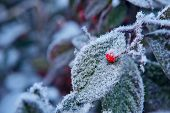 Red berry on green leaf covered with rime frost in Piedmont, Northern Italy.