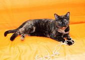 image of heartwarming  - Black and red cat playing with string of pearls on orangeholding - JPG