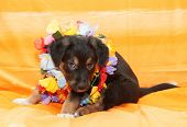 Small Black Puppy With Brown Markings Plays On Orange Background