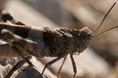 Brown Locust Close Up