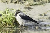 Hooded Crow walking on the grass (Corvus corone cornix)