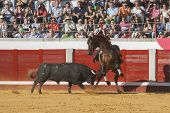 Spanish bullfighter on horseback Diego Ventura bullfighting on horseback bull chases the horse ridin