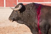 stock photo of bullfighting  - Capture of the figure of a brave bull in a bullfight - JPG
