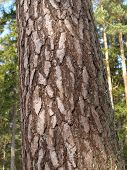 stock photo of pinus  - bark from scots pine tree - JPG