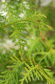 green branch of thuja