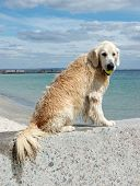 Portrait Of Wet Golden Retriever Dog With Yellow Tennis Ball At The Beach
