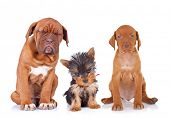three adorable sleepy puppies sitting on white background. french mastiff, yorkshire terrier and vis