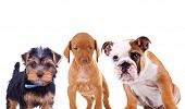 three cute curious puppies are looking at the camera. yorkshire terrier, viszla and english bulldog