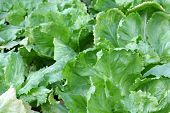 Home grown Broad-leaved Endive Salad leaves in the garden