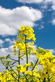Canola Flower On A Background Of The Cloudy Sky