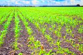 Rows of green corn plants