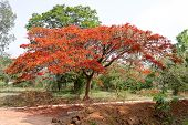 a beautiful dazzling gulmohar tree flooded with its reddish orange flowers