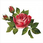 Red rose on white. Vector illustration.