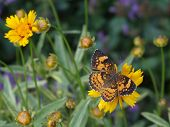 Butterfly On Coreopsis