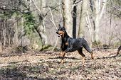 stock photo of doberman pinscher  - doberman pinscher running in the woods - JPG