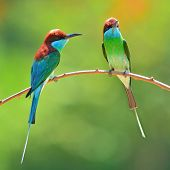Blue Throated Bee Eater Bird