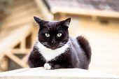 Dark Chocolate Brown And White Cat Sitting On A Fencepost