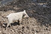 Young Pig At Farmyard