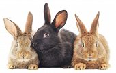 picture of bunny rabbit  - Isolated image of a three bunny rabbits - JPG