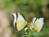 picture of sucking  - two butterflies suck nectar together  - JPG