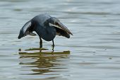 A Western Reef Heron (egretta Gularis) Copying The Hunting Style Of A Black Heron