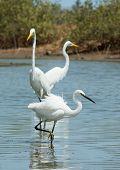 A White Western Reef Heron (egretta Gularis) Walking Infront Of 2 Great White Egrets (egretta Alba)