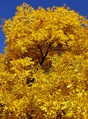 pic of ash-tree  - autumnal golden foliage of ash - JPG