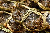 Chinese Yangcheng Lake crab