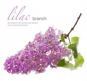 lilac branch with leaf